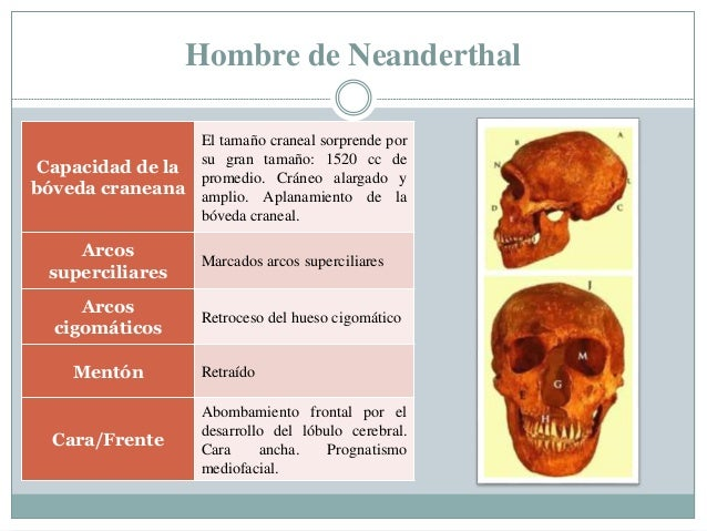 Hombre de Neanderthal Capacidad de la bóveda craneana El tamaño craneal sorprende por su gran tamaño: 1520 cc de promedio....
