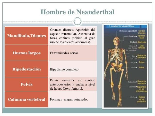 Hombre de Neanderthal Mandíbula/Dientes Grandes dientes. Aparición del espacio retromolar. Ausencia de fosas caninas (debi...