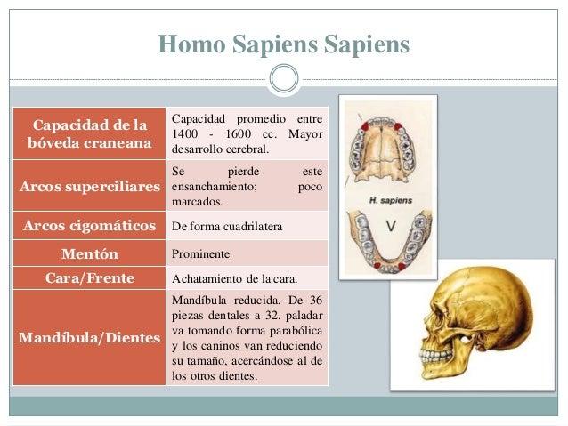 Homo Sapiens Sapiens Capacidad de la bóveda craneana Capacidad promedio entre 1400 - 1600 cc. Mayor desarrollo cerebral. A...