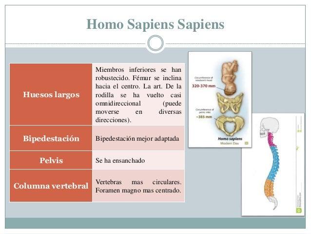 Homo Sapiens Sapiens Huesos largos Miembros inferiores se han robustecido. Fémur se inclina hacia el centro. La art. De la...