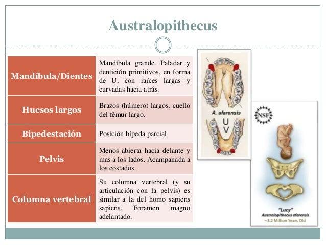 Australopithecus Mandíbula/Dientes Mandíbula grande. Paladar y dentición primitivos, en forma de U, con raíces largas y cu...