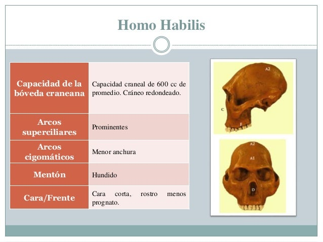 Homo Habilis Capacidad de la bóveda craneana Capacidad craneal de 600 cc de promedio. Cráneo redondeado. Arcos superciliar...