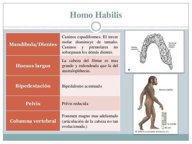 Homo Habilis Mandíbula/Dientes Caninos espadiformes. El tercer molar disminuye de tamaño. Caninos y premolares no sobrepas...