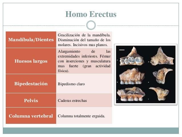 Homo Erectus Mandíbula/Dientes Gracilización de la mandíbula. Disminución del tamaño de los molares. Incisivos mas planos....