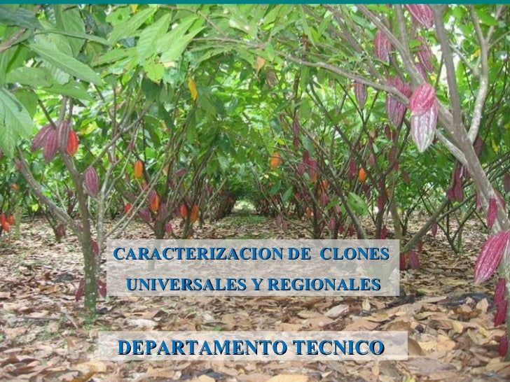 CARACTERIZACION DE  CLONES  UNIVERSALES Y REGIONALES DEPARTAMENTO TECNICO