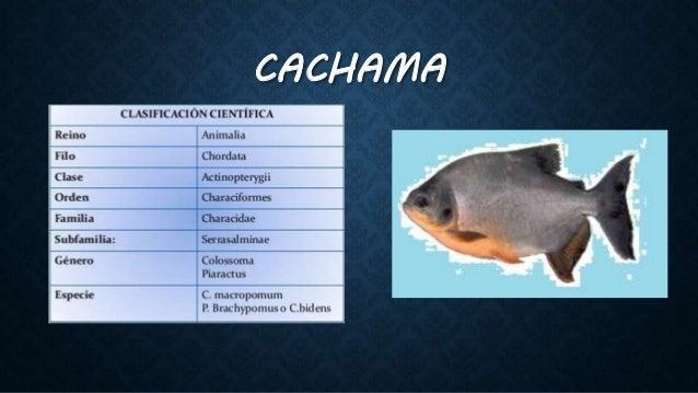 Caracter sticas fenot picas y genot picas en peces for Pez cachama