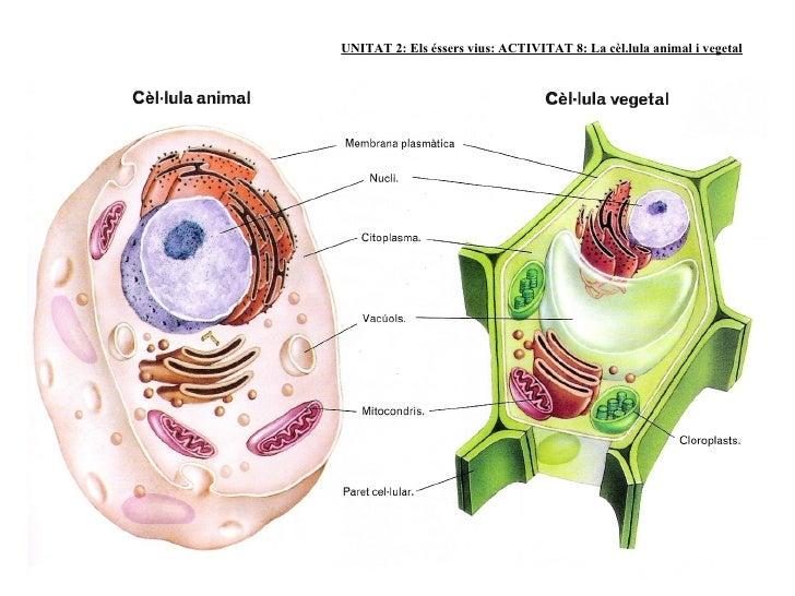 Resultado de imagen de cèl·lula animal i vegetal