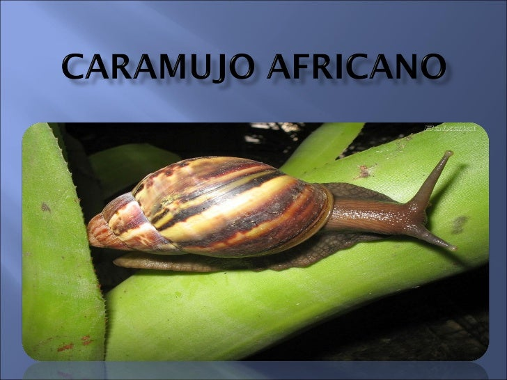 CARAMUJO AFRICANO