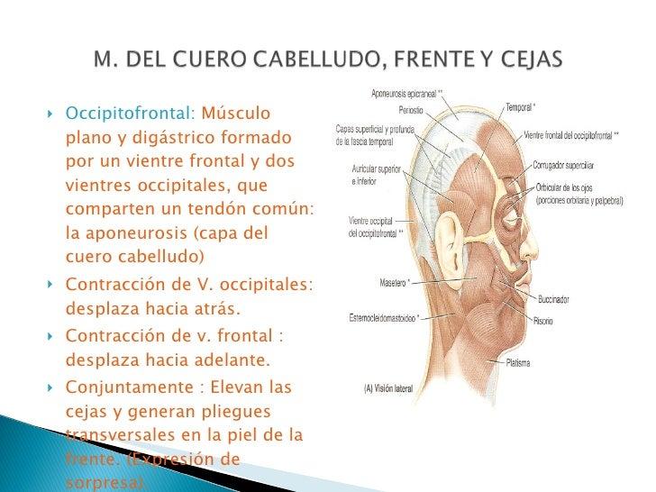 anatomia cra y cuello Slide 2