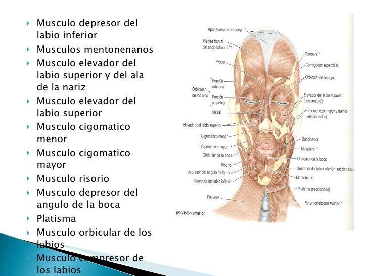 anatomia cra y cuello Slide 3