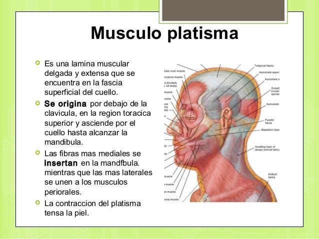 Cara y glandula parotida 5to
