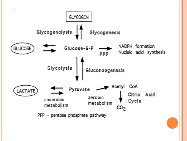 glycogenesis is anabolic