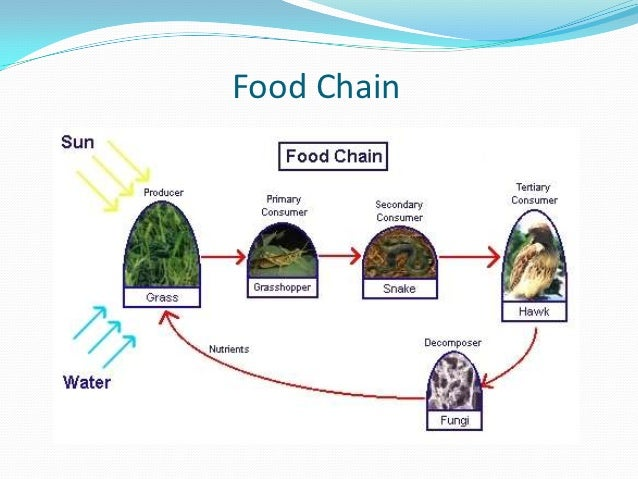 essay on food chain and food web In nature, food chain relationships are very complex they never operate as isolated sequences, as one organism may form the food source of many organisms and so on.