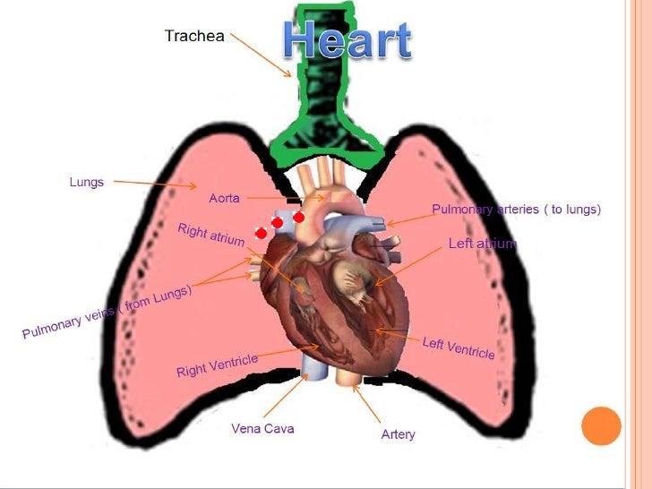 Carbon dioxide through the heart 25 ccuart Gallery