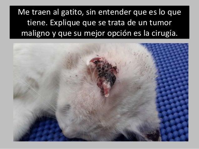 Carcinoma epidermoide en oreja de gato Slide 2
