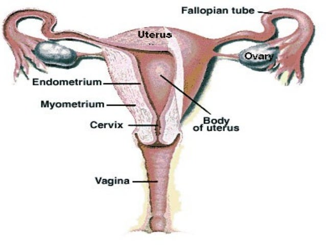 Diagram Of Cervix Uterus - Wiring Circuit •