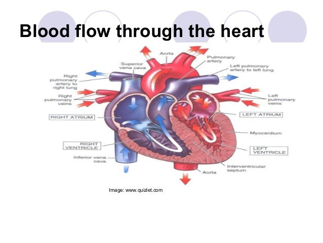 Blood flow through the heart diagram quizlet wiring diagram cardiac anatomy powerpoint modified rh slideshare net human heart diagram blood flow through the heart animation ccuart Choice Image