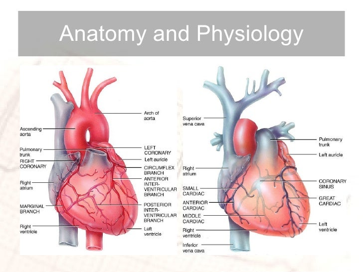 Anatomy cardiovascular anatomy and physiology | Coursework Academic ...