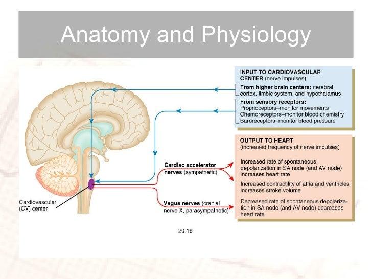 anatomy and physiology cardiovascular dynamics