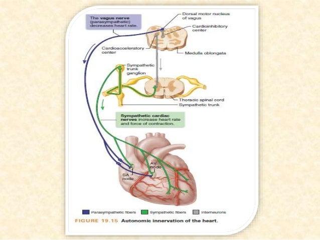 .A:Bradyarrhythmias دس کې سیستم انتقالي په زړه د نظمۍ بې نوموړيیالې دجوړیدو(initiation)دانتقال ...