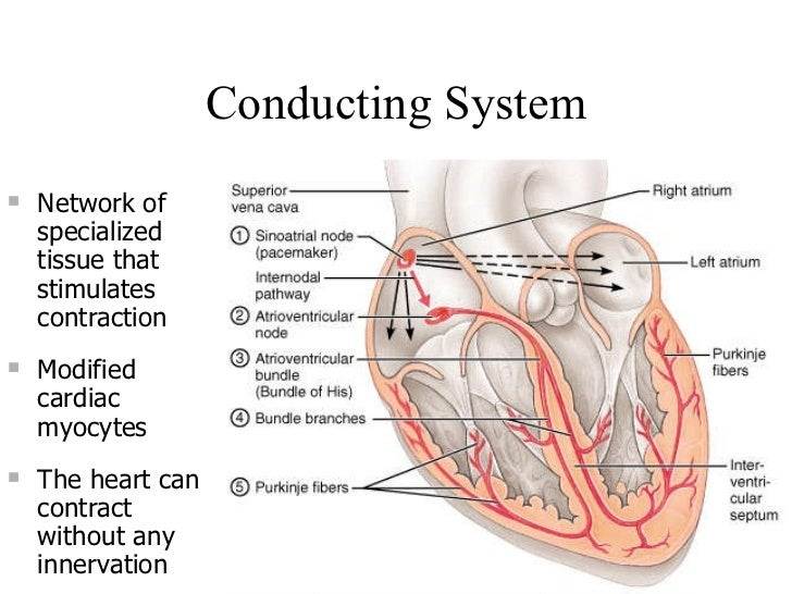 Conducting System <ul><li>Network of specialized tissue that stimulates contraction  </li></ul><ul><li>Modified cardiac my...