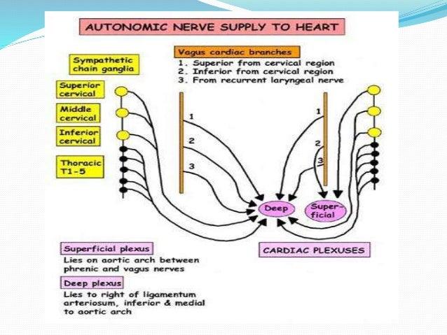 nerve supply of larynx pdf