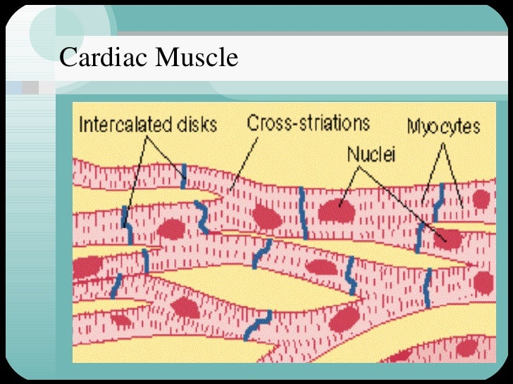 cardiac muscle, Sphenoid