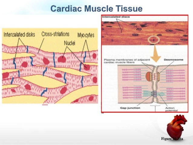 cardiac muscle physiology, Sphenoid