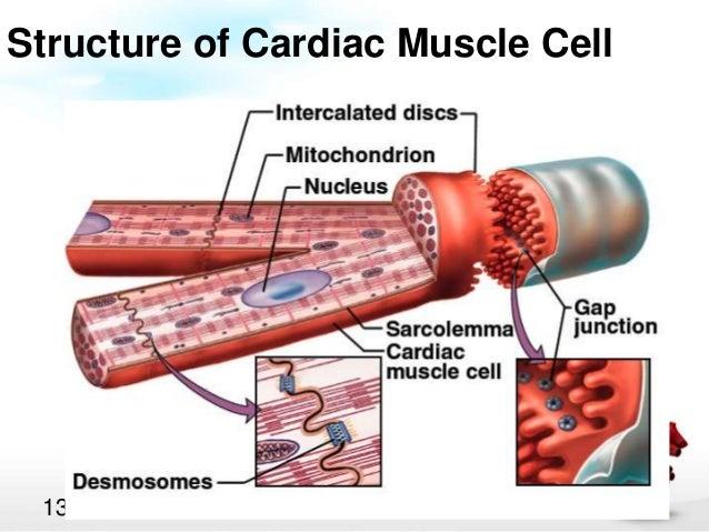cardiac muscle physiology circulatory system diagram unlabeled cardiovascular cell diagram #7