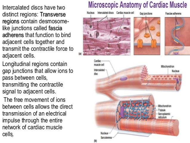 cardiac muscle tissue, Human body