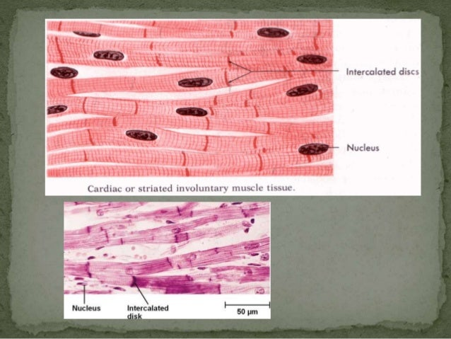Cardiac muscle tissue and conducting system