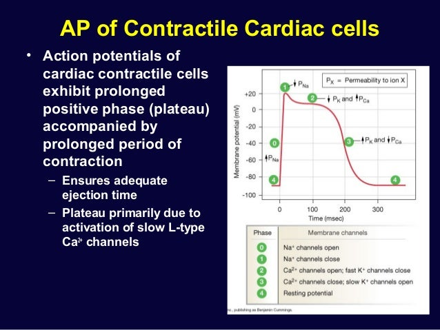 Cardiac physiology resting potential 16 ap of contractile cardiac cells action ccuart Image collections