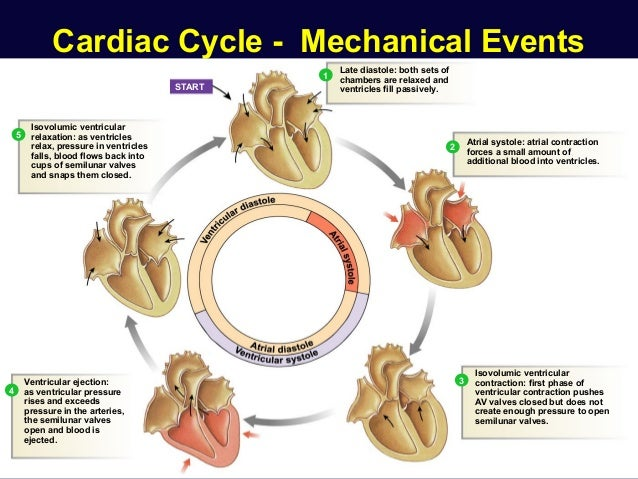 Cardiac Physiology 27985865 further Kids Health Circulatory System Word Search Heart Circulatory System additionally PrintPreview furthermore Physical Consequences Of Declawing together with Ergoactives Shoebaum Air Cam Walker Boot. on closed circulatory system
