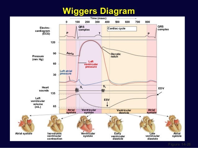 Cardiac physiology cardiac cycle 32 wiggers diagram ccuart Gallery