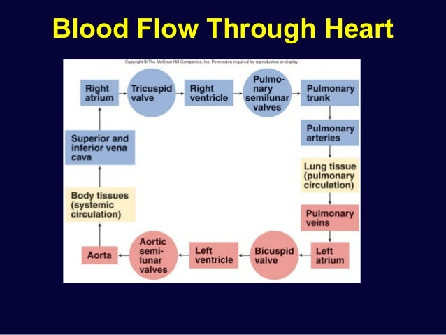 What Are The 14 Steps Of Blood Flow - pdfshare
