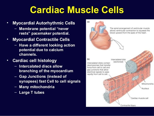 Cardiovascular System Structure Function as well Classification Of Animals 3041399 additionally Schisandra Chinensis Extract Schisandra Berry Extract 60105319553 additionally The World Of Annelidsgallardo2028 likewise Cardiac Physiology 27985865. on circulatory system work