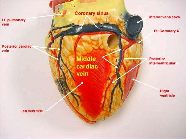 Cardiac Venous System