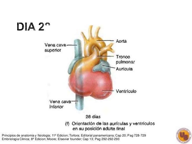 Embriologia Cardica
