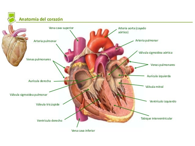 Cardiologia veterinaria revision