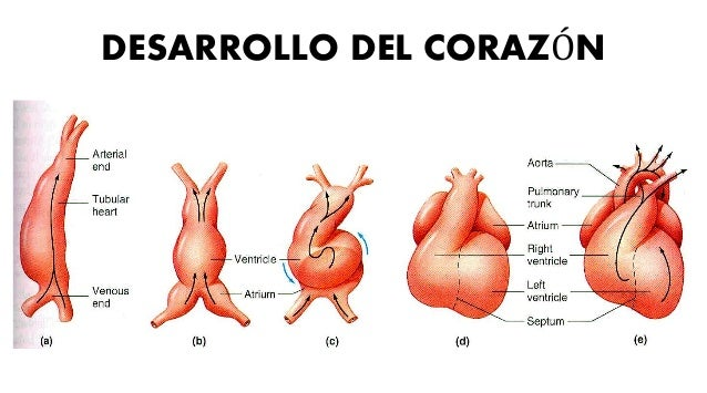 DESARROLLO DEL CORAZÓN