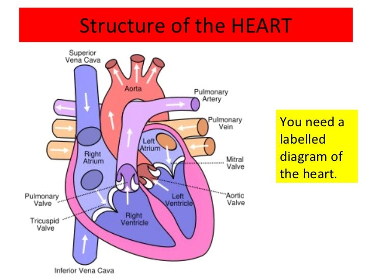 Structure Of Circulatory System Diagram - Wiring Circuit •