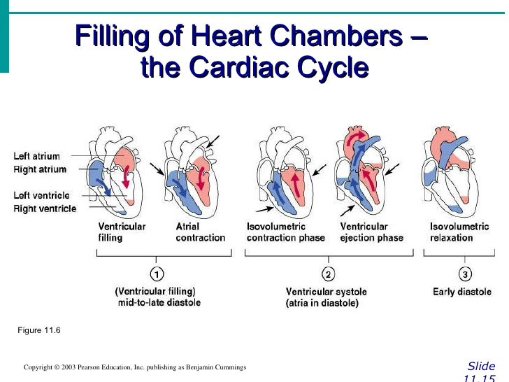 the cardiac cycle and its control The cardiac cycle is the performance of the human heart from the beginning of one heartbeat to the beginning of the next it consists of two periods: one during which the heart muscle relaxes and refills with blood, called diastole (die-ass-toe-lee),.