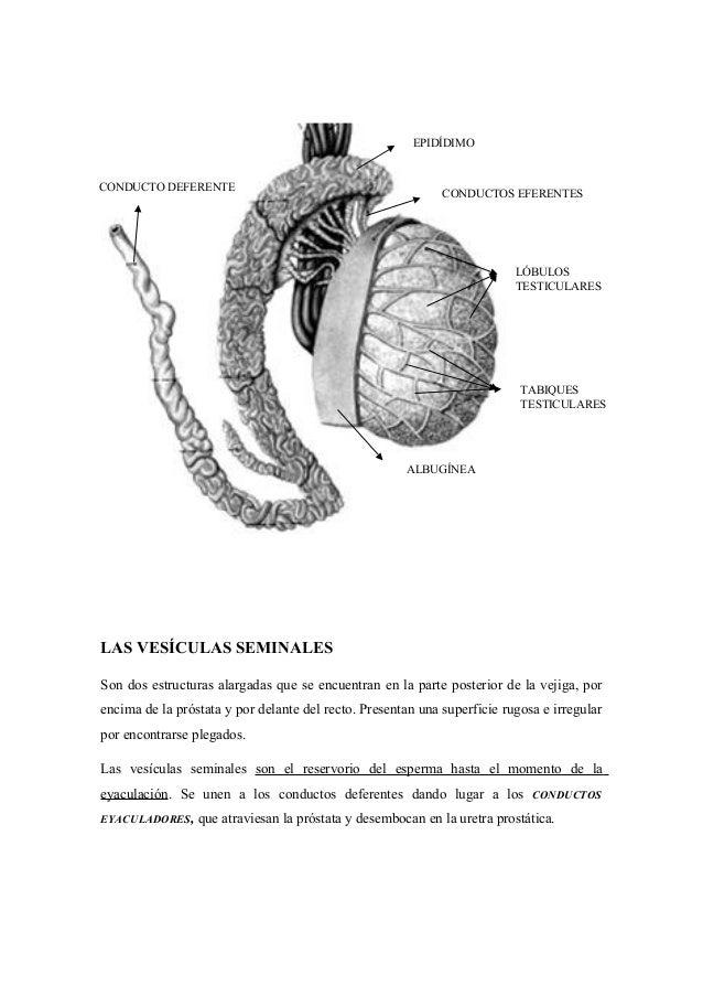 Cardiovascular anatomia