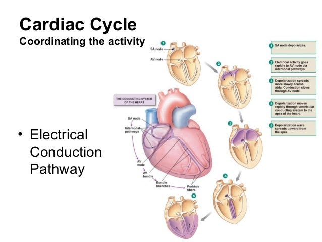 Cardiovascular physiology cardiac cycle coordinating the activity electrical conduction pathway ccuart Choice Image