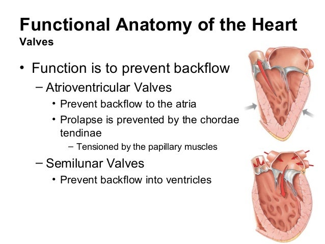 Famous Functional Anatomy Of Heart Gift - Anatomy And Physiology ...