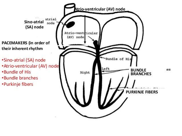 Cardiovascular physiology for anesthesia