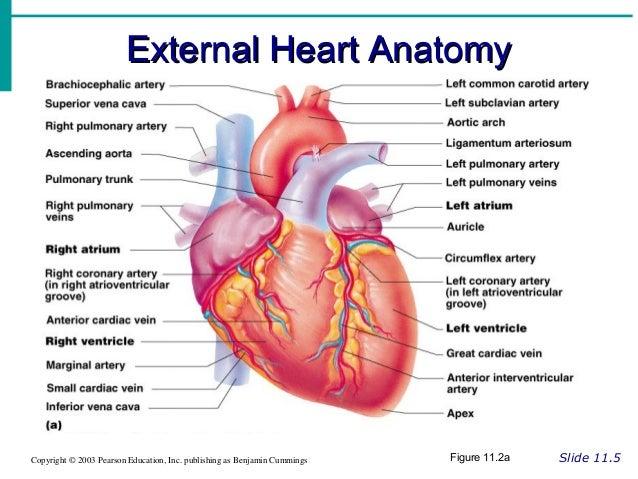 Cardiovascular powerpoint