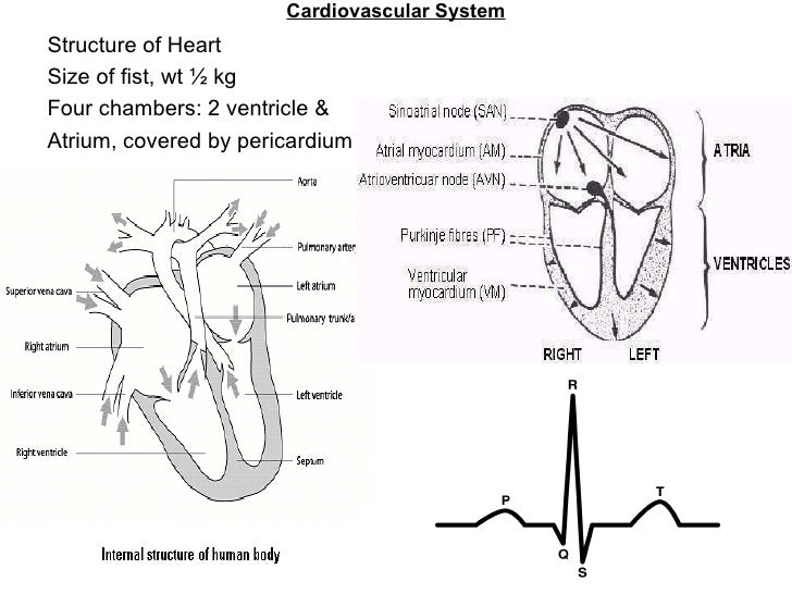 Cardiovascular System Structure of Heart Size of fist, wt ½ kg Four chambers: 2 ventricle &  Atrium, covered by pericardium