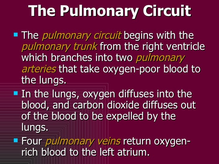 The Pulmonary Circuit <ul><li>The  pulmonary circuit  begins with the  pulmonary trunk  from the right ventricle which bra...