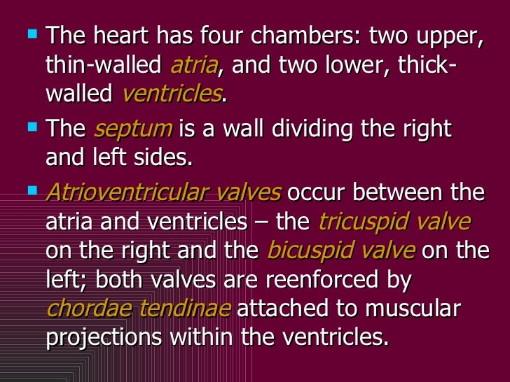 <ul><li>The heart has four chambers: two upper, thin-walled  atria , and two lower, thick-walled  ventricles . </li></ul><...